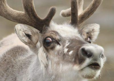 Svalbard Reindeer, Svalbard - Philip Precey
