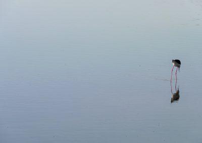 Black-winged Stilt, Lesvos - Laurie Jackson
