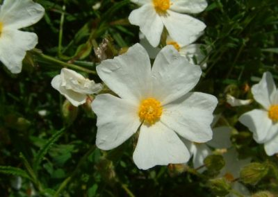 Cistus salvifolius - Chris Donnelly