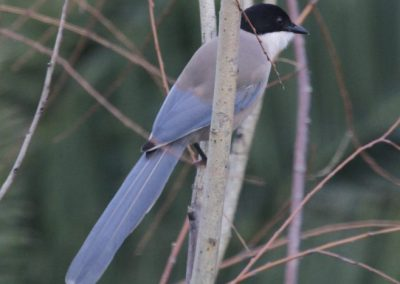 Azure Winged Magpie, Extremadura - Chris Donnelly