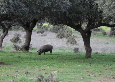 'Black ham' pig, Extremadura - Chris Donnelly
