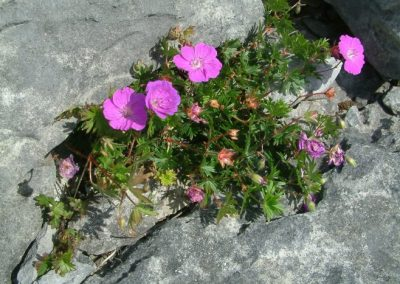 Bloody Cranesbill, The Burren - Chris Donnelly