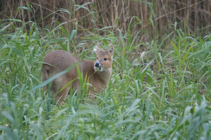 Chinese Water Deer, Norfolk - Philip Precey
