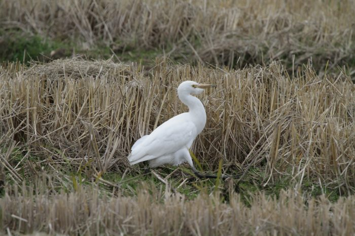 Great White Egret, Extremadura - Chris Donnelly