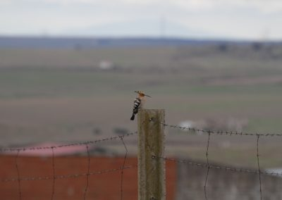 Hoopoe, Extremadura - Chris Donnelly