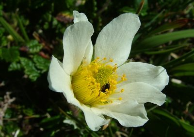 Mountain avens Dryas octopetala, The Burren - Chris Donnelly