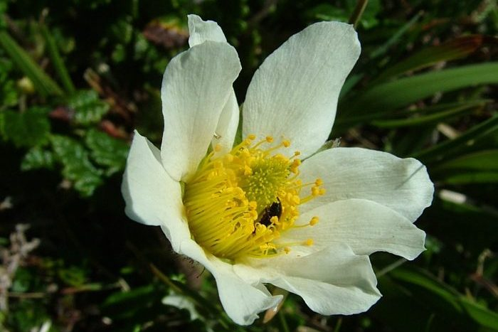 Dryas octopetala, The Burren - Chris Donnelly