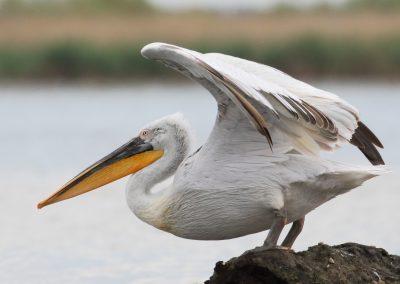 Dalmatian Pelican, Danube Delta - Mike Symes