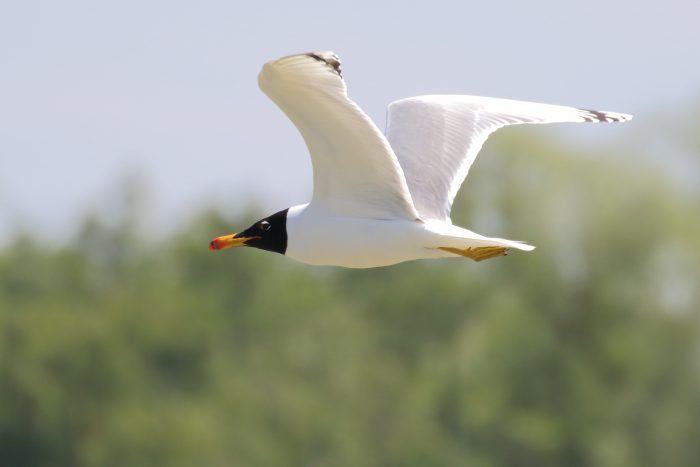 Great Black-headed Gull, Danube Delta - Mike Symes