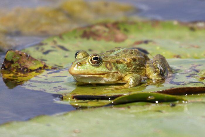 Marsh Frog, Danube Delta - Mike Symes