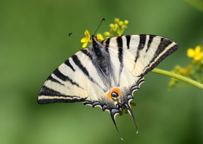 Scarce Swallowtail, Danube Delta - Mike Symes