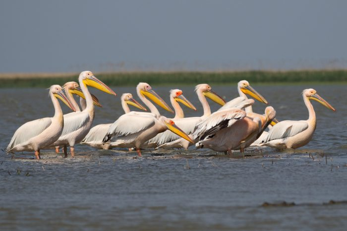 White Pelicans, Danube Delta - Mike Symes