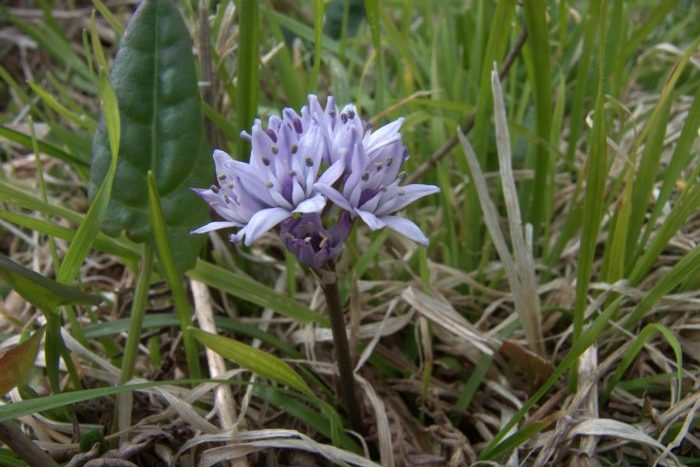Spring Squill Scilla verna, Isles of Scilly - Laurie Jackson