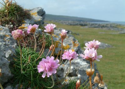 Thrift on the limestone Chris Donnelly
