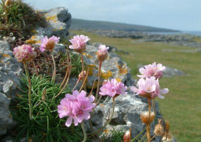 Armeria maritima, The Burren - Chris Donnelly