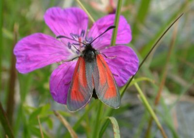 Transparrent Burnet, The Burren - Chris Donnelly