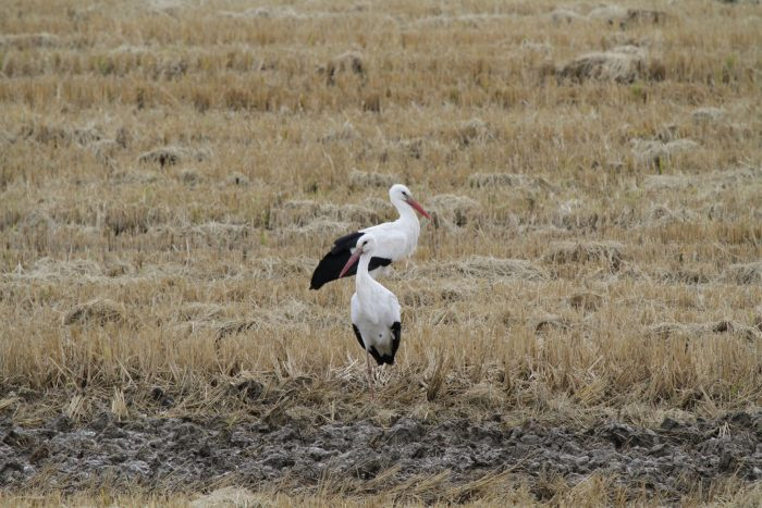 White Storks, Extremadura - Chris Donnelly