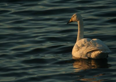 Whooper Swan, Norfolk - Philip Precey