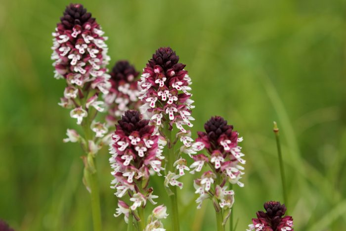 Burnt-tip Orchids, The Dolomites - Mike Symes