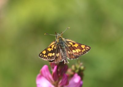 Chequered Skipper, The Dolomites - Mike Symes