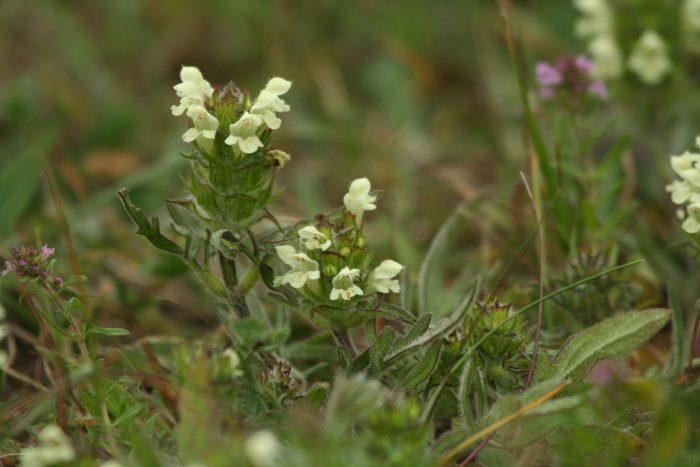 Prunella laciniata, Hungary - Philip Precey