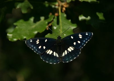 Southern White Admiral, Greece - Philip Precey