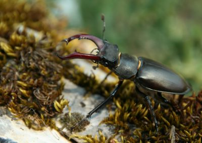 Stag Beetle, Greece - Philip Precey