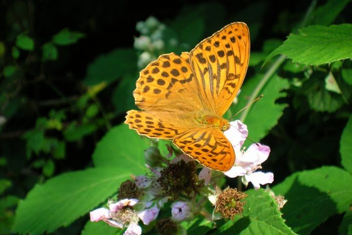 Silver-washed Fritillary - Mike Symes