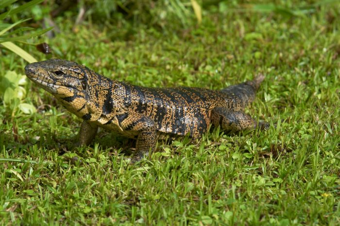 Tegu Lizard, Trinidad - MotMot Travel