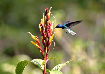 White-necked Jacobin, Tobago - MotMot Travel
