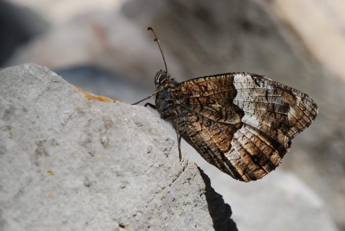 Woodland Grayling, West Carpathians - Martin Hrouzek