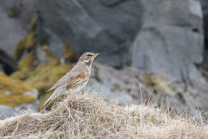 Redwing, Iceland - Jess Hatchett