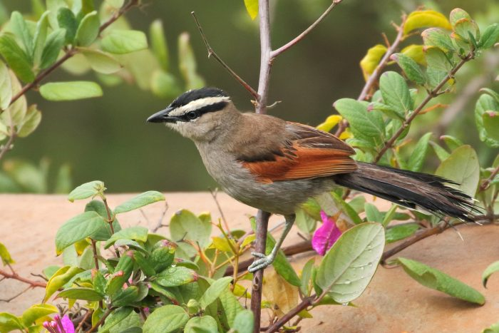 Black-crowned Tchagra, Morocco - Mike Symes
