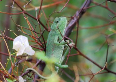 Chameleon, Morocco - Mike Symes