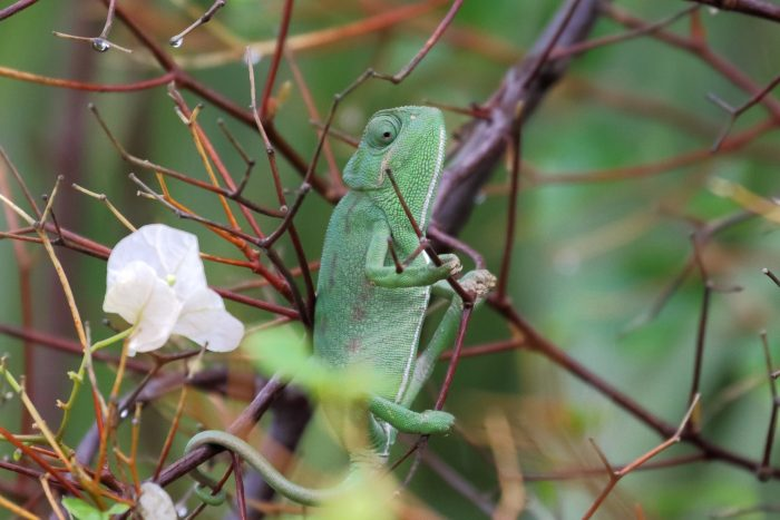 Chameleon, Morocco - Mike Symes