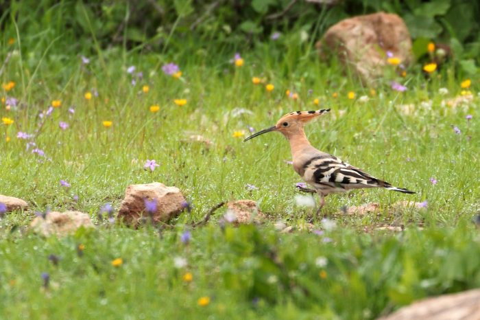 Hoopoe, Morocco - Mike Symes