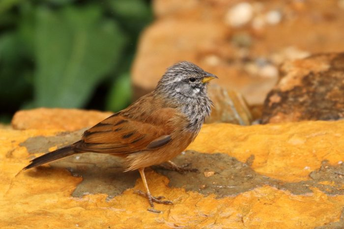 House Bunting, Morocco - Mike Symes
