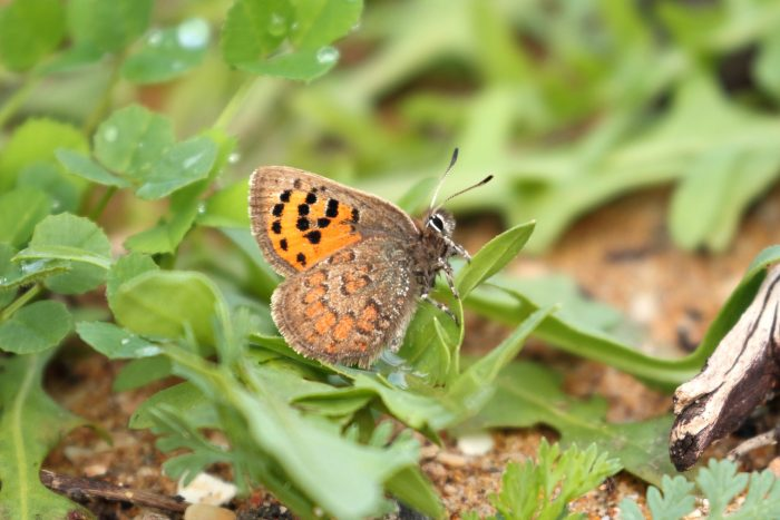 Moroccan Hairstreak, Morocco - Mike Symes