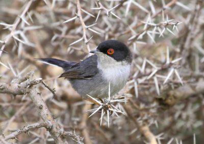 Sardinian Warbler, Morocco - Mike Symes
