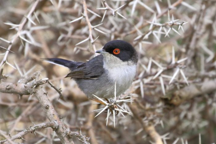 Sardinian Warbler, Morocco - Mike Symes