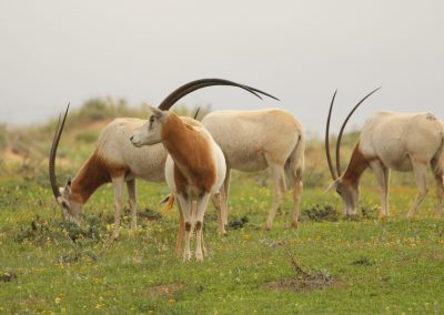 Scimitar-horned Oryx, Morocco - Mike Symes