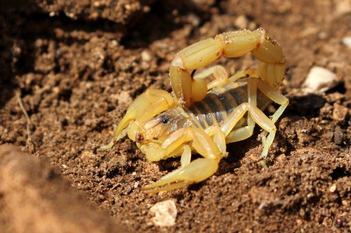 Scorpion Buthus sp., Morocco - Mike Symes