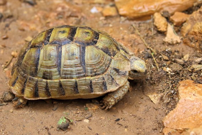 Spur-thighed Tortoise, Morocco - Mike Symes