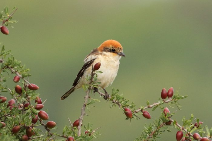 Woodchat Shrike, Morocco - Mike Symes