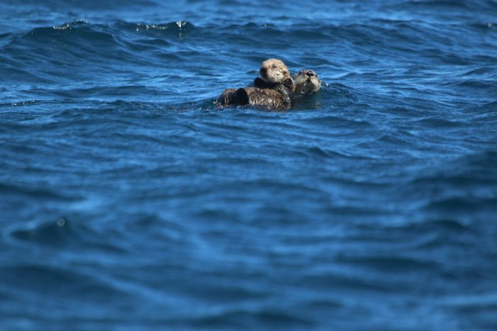 Sea Otter, Kamchatka - Philip Precey