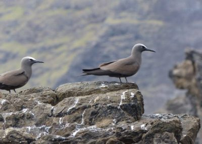 Brown Noddy, Easter Island - Laurie Jackson
