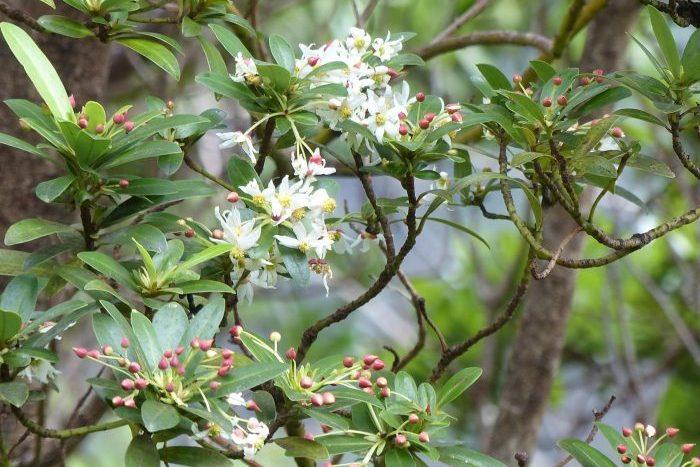 Drimys confertifolia, Robinson Crusoe - Laurie Jackson