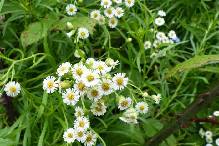 Erigeron fernandezianum, Robinson Crusoe - Laurie Jackson