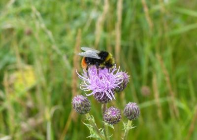 Red-tailed Bumblebee, Norfolk - Laurie Jackson