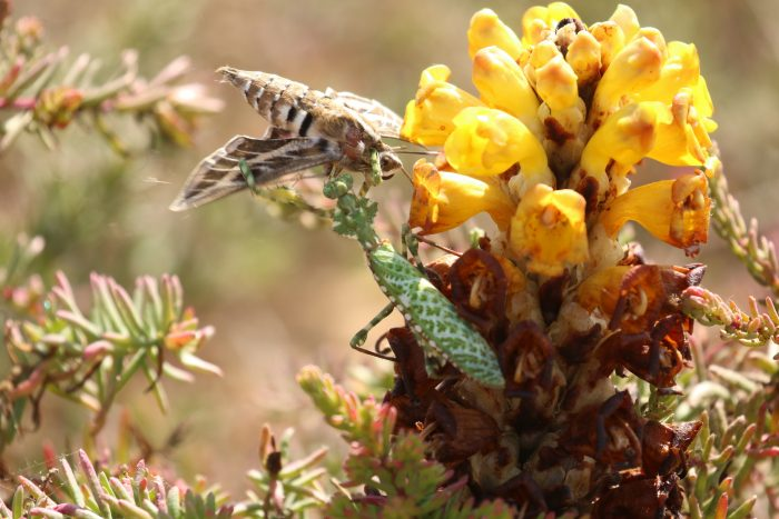 Striped Hawkmoth and Bletharops mendica, Morocco - Philip Precey